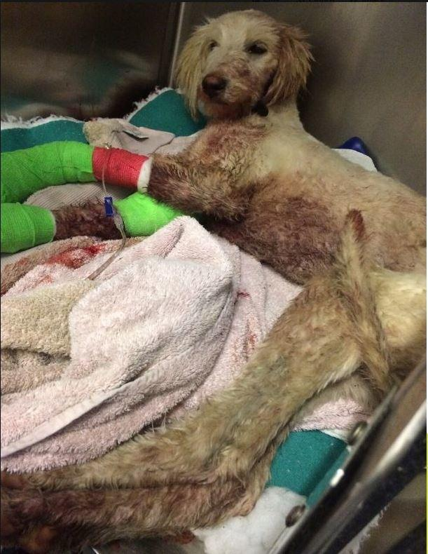 Can you help this badly injured lurcher?