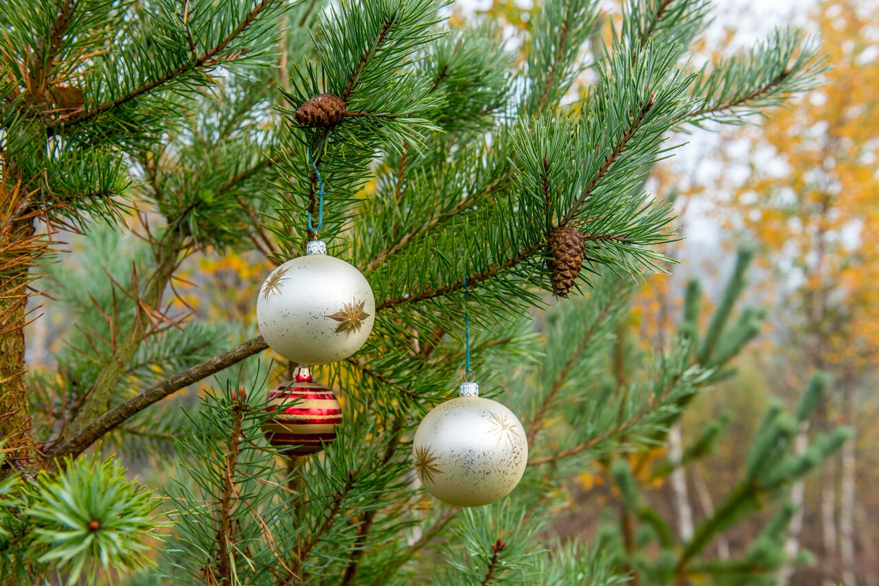Wildlife trust to sell live Christmas trees in the build up to festive season